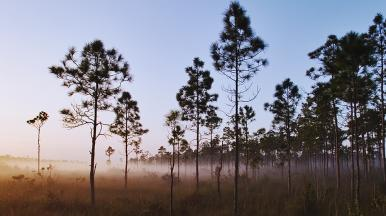 Slash pines in the Florida Everglades